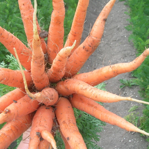 pick you own carrots