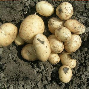 pick you own potatoes