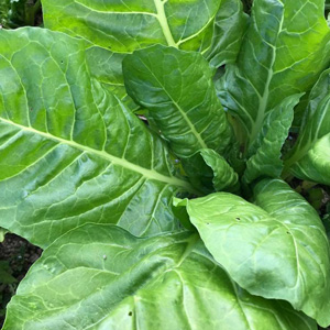 pick your own spinach