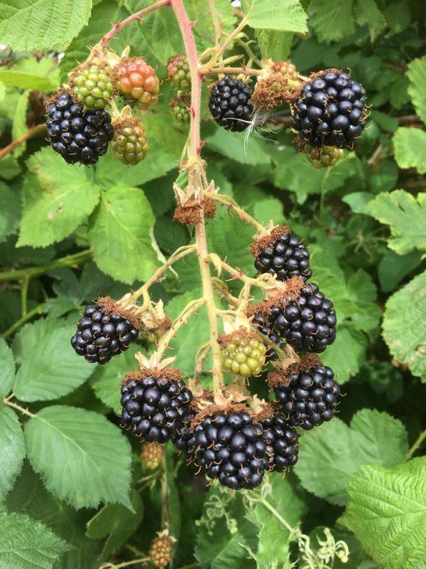 pick your own blackberries