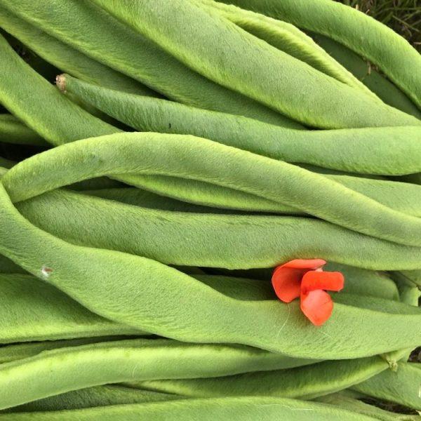 pick your own runner beans